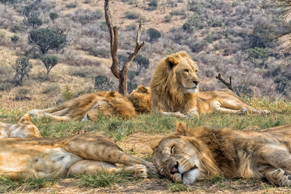 lions sleeping in Sabi Sand Reserve, South Africa