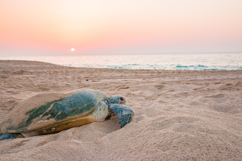 turtle on the beach in Oman